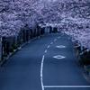 逗子ハイランドの桜1