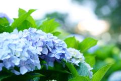 紫陽花2018