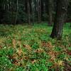 ニリンソウの咲く林床