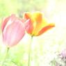 CANON Canon EOS Kiss X5で撮影した(チューリップ風に吹かれて)の写真(画像)