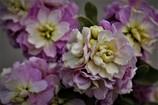 フラリエの花