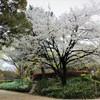 名城公園 桜