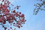 桜散りハナミズキ