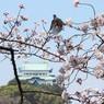 CANON Canon EOS Kiss X5で撮影した(桜 名古屋城)の写真(画像)