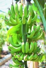 Banana×Banana×Banana♪