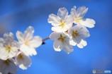 サクラ咲いたら一年生。