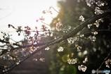 桜の咲くころ♪