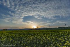 菜の花畑の朝