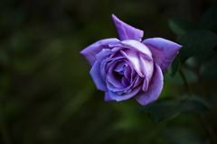 道端の薔薇