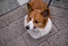 Summilux Dog