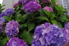 03で紫陽花を (2)