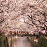 目黒川の桜たち