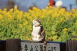 富士山と菜の花が定番ですが