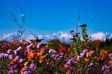 秋に咲く花 ~北アルプス~