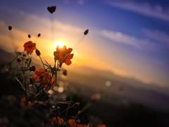夕陽が生んだ秋桜