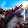 真っ赤な薔薇に太陽!