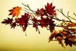 冬の楓  ~枯れ落ちる美~
