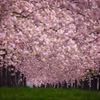 溢れる桜並木