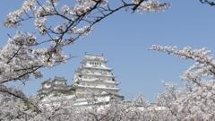 三の丸広場の桜と姫路城