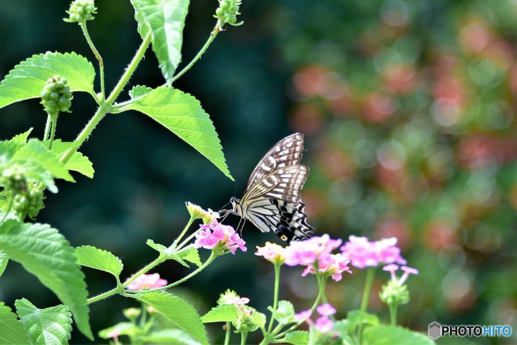 蝶はランタナのお花がお気に入り