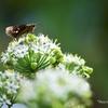 ニラ花にセセリン