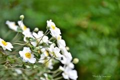 白い秋明菊の花