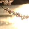 夕暮桜 その2