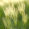 光る麦の穂