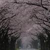 桜のトンネル その2