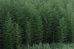 竹林は緑一色