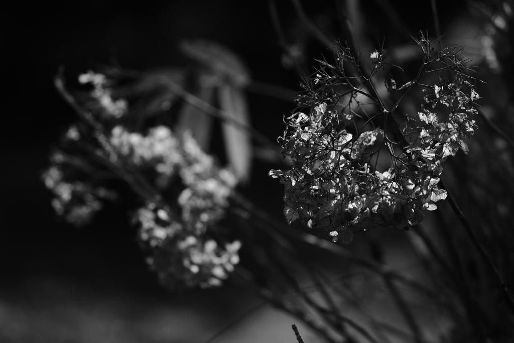 枯れ紫陽花 その2
