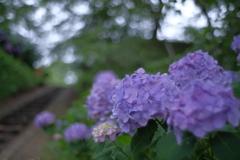 あじさいの咲く公園3