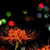 彼岸花と灯