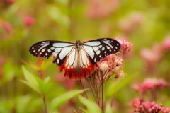 海を渡る謎の蝶1