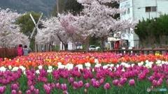 デ・レイケ公園の桜とチューリップ