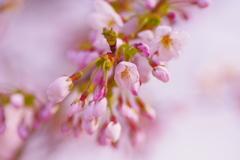 桜 -2018- Cherry Blossoms