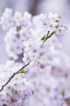 白桜 white blossoms