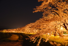夜桜 Cherry at night