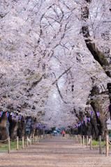 伊奈無線山の桜(1)