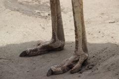 恐竜の足(嘘 ダチョウの足)