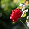 夏の薔薇…♪