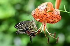 花と蝶 6172 オニユリにアゲハチョウ