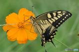 花と蝶 4767 キバナコスモスとキアゲハ