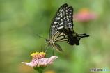 花と蝶 4826 ヒャクニチソウとアゲハチョウ