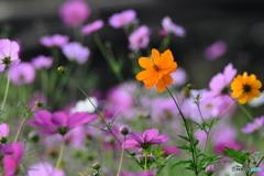 コスモス畑 0449 黄花が咲いてる?? 蒔いたの?