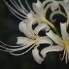 白花ヒガンバナ 6274