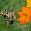花と蝶 4765 キバナコスモスとキアゲハ