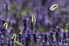 花と野草と 8313 ブルーサルビア畑にネコジャラシ!