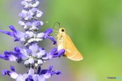 花と蝶 5887 ブルーサルビアとイチモンジセセリ