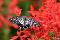 花と蝶 9179 サルビアにアゲハが!!